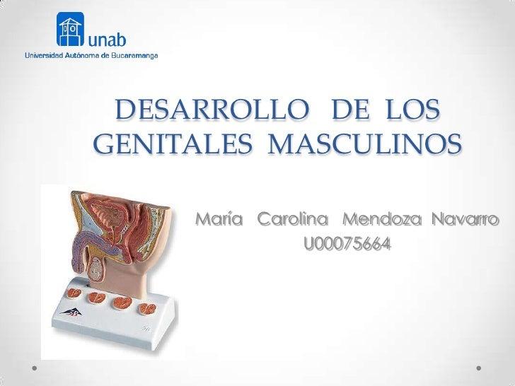 DESARROLLO DE LOSGENITALES MASCULINOS     María Carolina Mendoza Navarro                U00075664