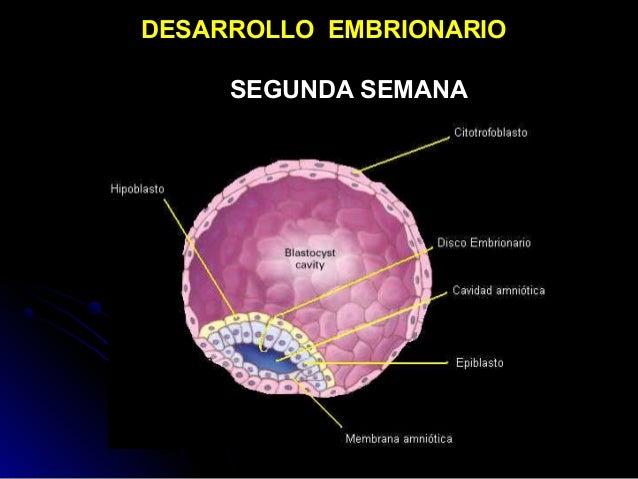 DESARROLLO EMBRIONARIO SEGUNDA SEMANA