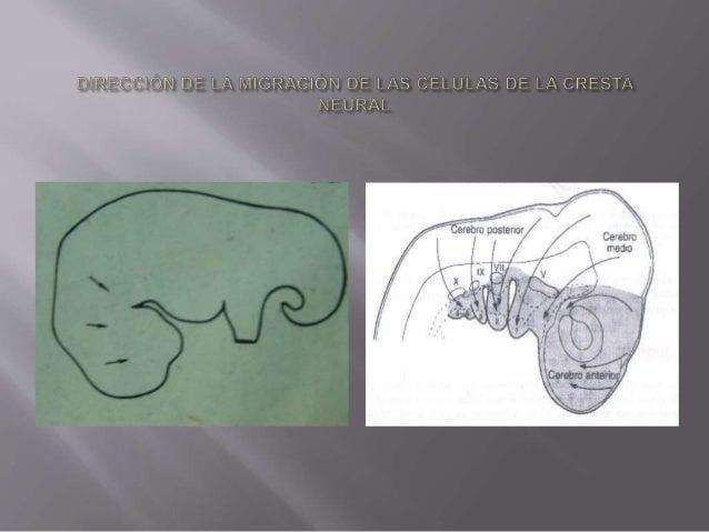ARCO BRANQUIAL NERVIO MUSCULO ESQUELETO 1er. Mandibular V. Par-Trigémino De la masticación(temporal, masetero, pterigoideo...