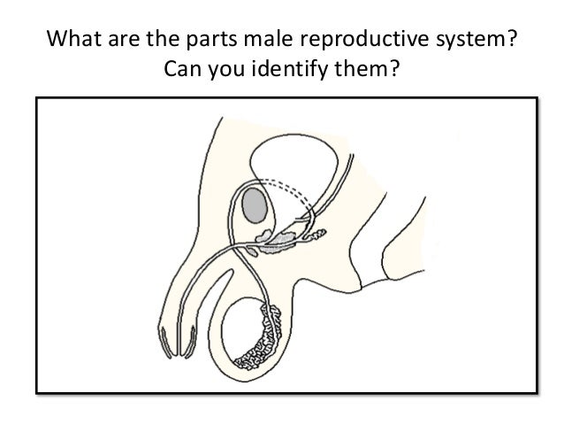 Describe the male reproductive system