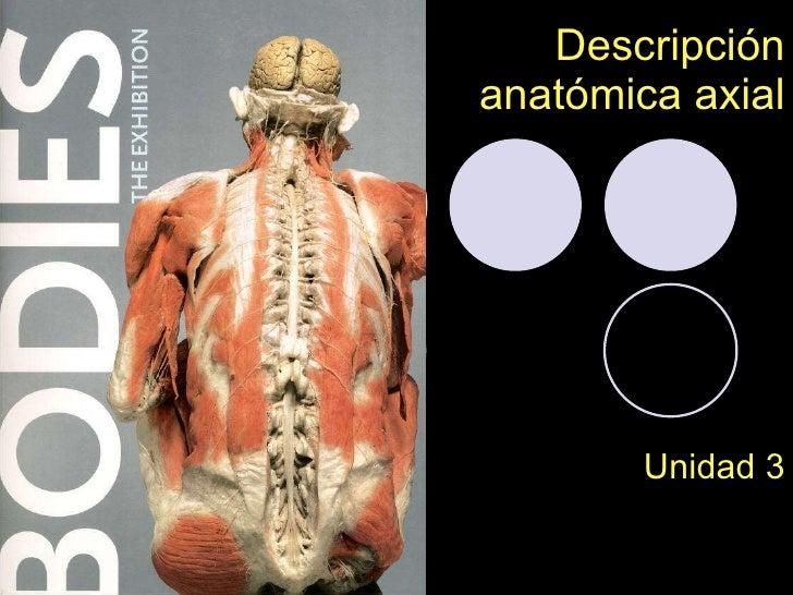 Descricpion anatómica axial
