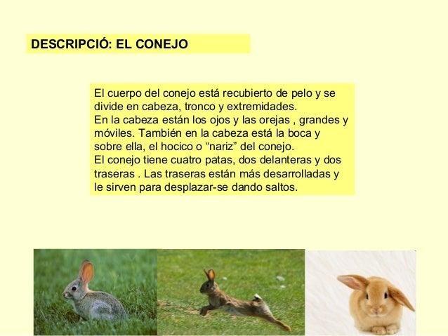 DESCRIPCIÓ: EL CONEJO  El cuerpo del conejo está recubierto de pelo y se divide en cabeza, tronco y extremidades. En la ca...