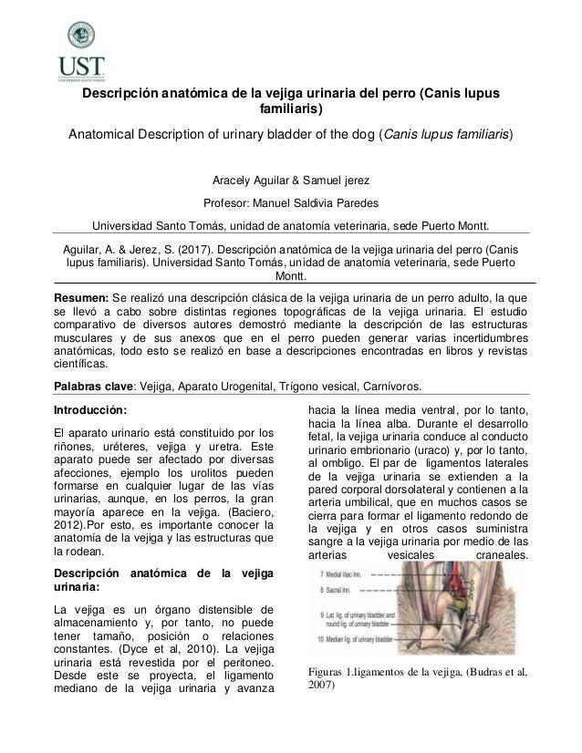 Descripción anatómica de la vejiga urinaria del perro (4)