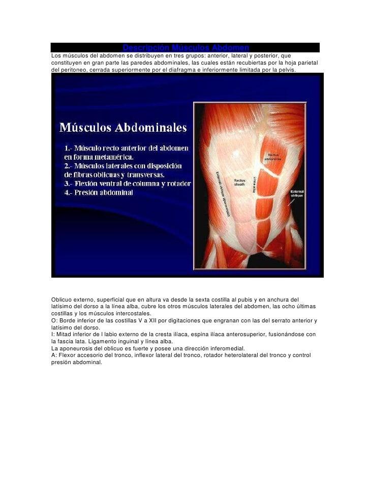 Descripción Músculos AbdomenLos músculos del abdomen se distribuyen en tres grupos: anterior, lateral y posterior, quecons...