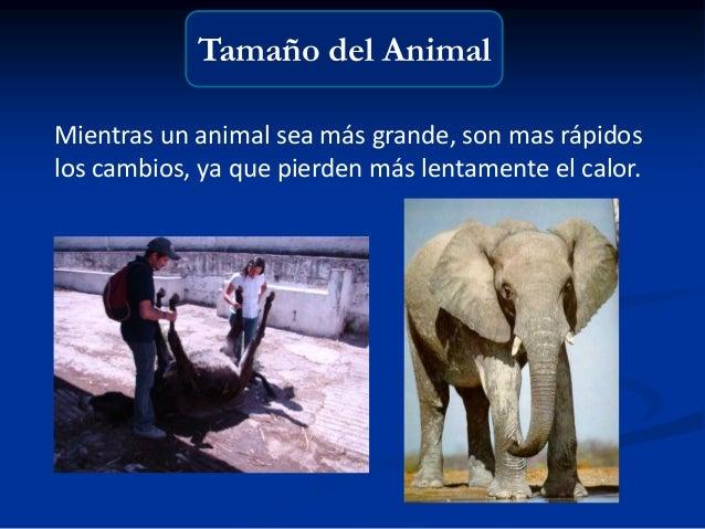 Tamaño del Animal Mientras un animal sea más grande, son mas rápidos los cambios, ya que pierden más lentamente el calor.
