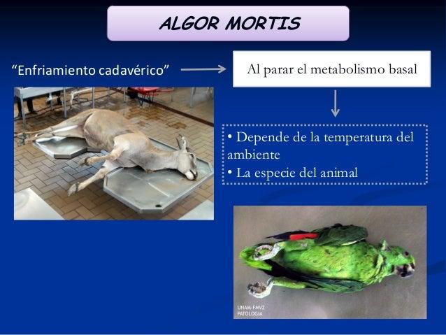 """ALGOR MORTIS """"Enfriamiento cadavérico""""  Al parar el metabolismo basal  • Depende de la temperatura del ambiente • La espec..."""