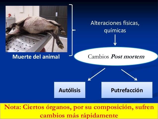 Alteraciones físicas, químicas  Muerte del animal  Autólisis  Cambios Post mortem  Putrefacción  Nota: Ciertos órganos, po...