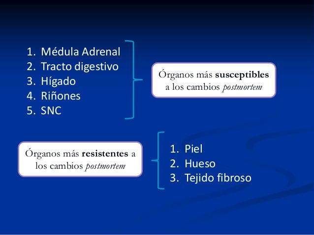 1. 2. 3. 4. 5.  Médula Adrenal Tracto digestivo Hígado Riñones SNC  Órganos más resistentes a los cambios postmortem  Órga...