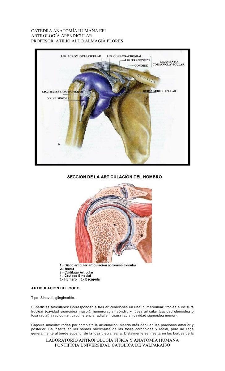 Magnífico Articulación Del Hombro Anatomía Galería - Imágenes de ...