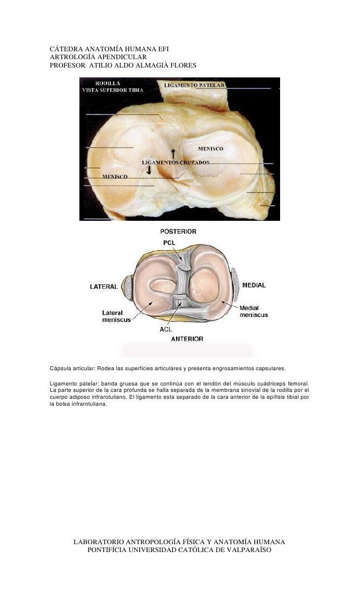 Descripcion artrologia apendicular