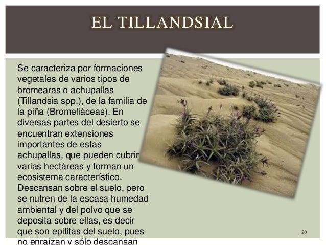 20 EL TILLANDSIAL Se caracteriza por formaciones vegetales de varios tipos de bromearas o achupallas (Tillandsia spp.), de...