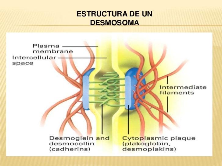Diccionario De Biologia Qué Es Desmosomas