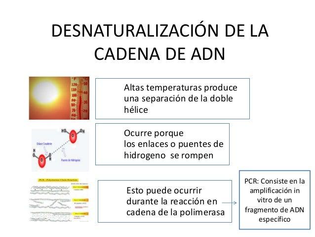 DESNATURALIZACIÓN DE LA CADENA DE ADN Altas temperaturas produce una separación de la doble hélice Ocurre porque los enlac...