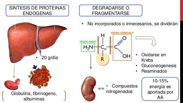Destino de los aminoacidos, grupo amino y residuo desaminado Slide 3