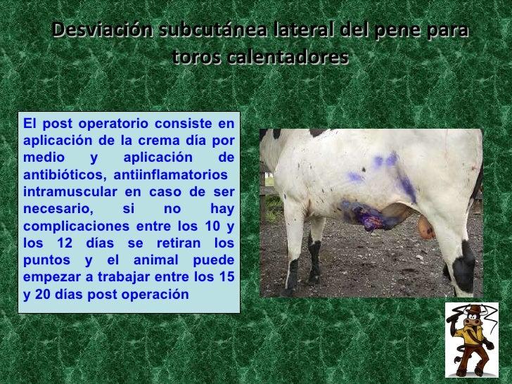 desviacion de pene en bovinos