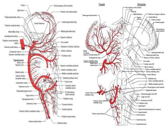 DETAILED ANATOMY OF THE MEDULLA