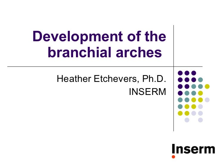 Development of the branchial arches  Heather Etchevers, Ph.D. INSERM
