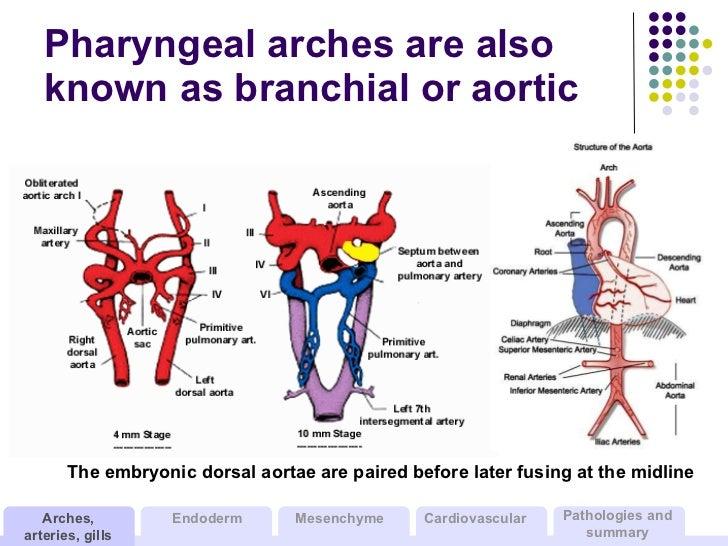 Descending aorta anatomy