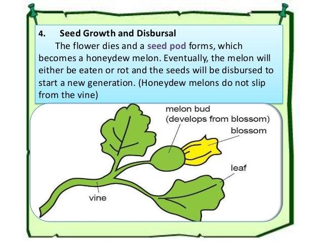 development from flower to fruit of honey dew