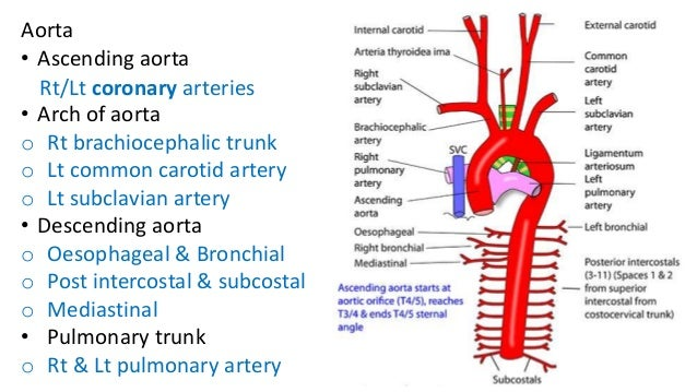 development of aorta and pulmonary trunk, Human Body