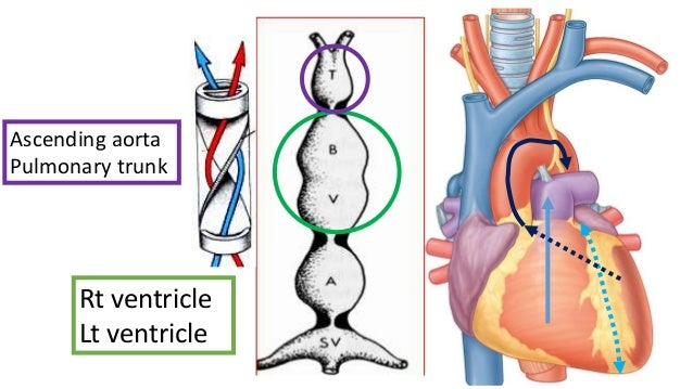 development of aorta and pulmonary trunk, Human Body