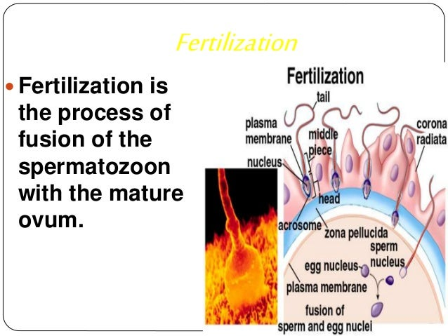 the human fertilization process and the period of development of the embryo Human fertilization 1 fertilization & development 19 nov 2008 fertilizationppt 2  fertilization process ue.