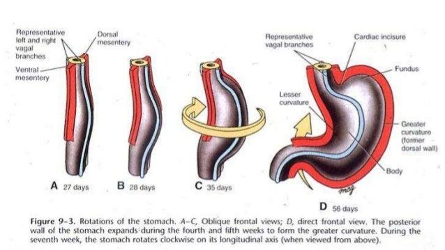 GASTROINTESTINAL EMBRYOLOGY EBOOK