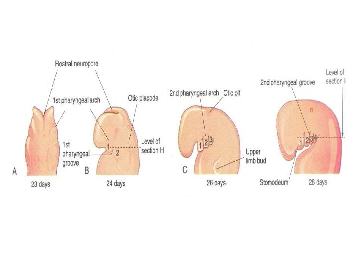 Development Of Head And Neck Editted