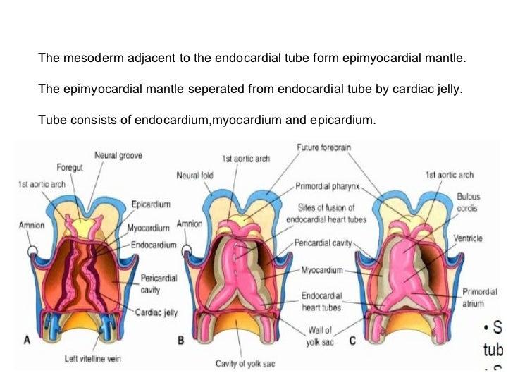 Development of heart heart tubes 9 ccuart Choice Image