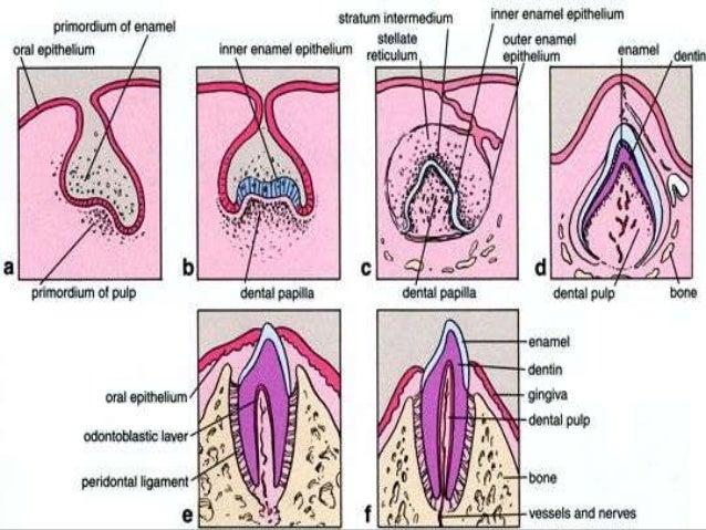 Development Of Periodontium Periodontics