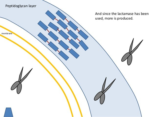 membrane Peptidoglycan layer And since the lactamase has been used, more is produced.