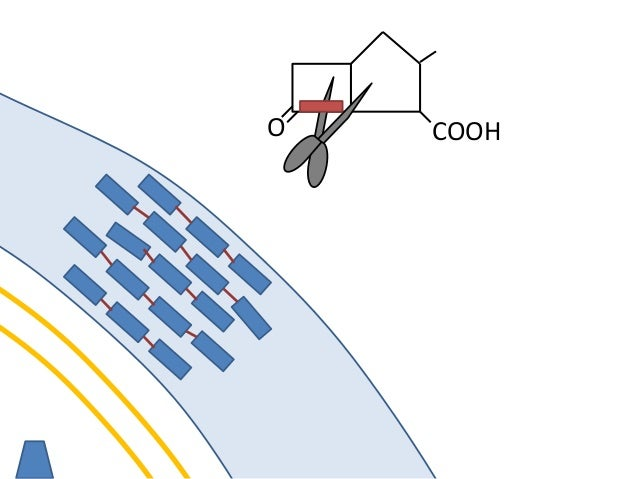 O COOH It destroys the beta lactamase with its suicide beta lactam ring. It does not trigger increased production of beta ...