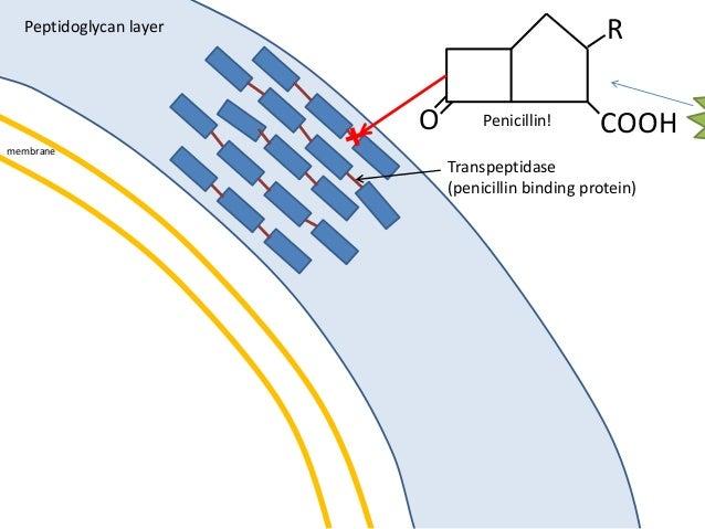 membrane Peptidoglycan layer O COOH R Penicillin! Transpeptidase (penicillin binding protein)