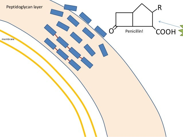 membrane Peptidoglycan layer O COOH R Penicillin!