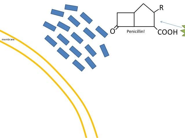 membrane O COOH R Penicillin!
