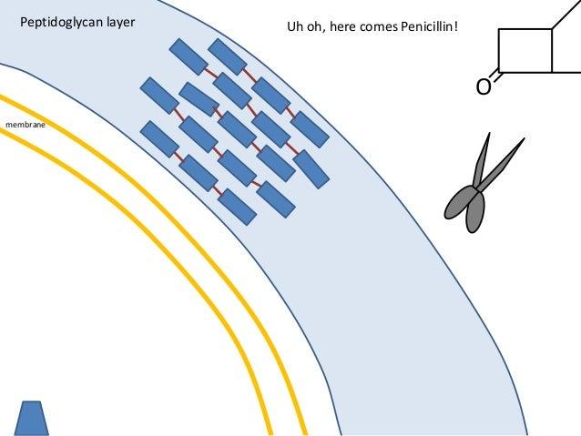 membrane Peptidoglycan layer O Uh oh, here comes Penicillin!