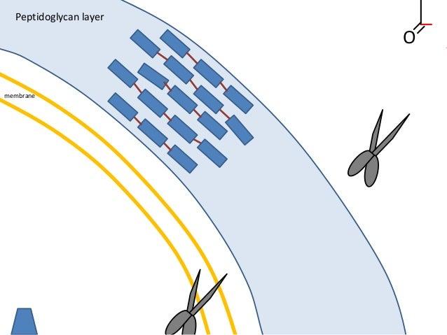 membrane Peptidoglycan layer O