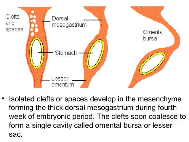 61795 additionally 405777 in addition 5871074 together with Pringle manoeuvre in addition Scc Cole Emergency Mesentery Study Flash Cards. on lesser omentum