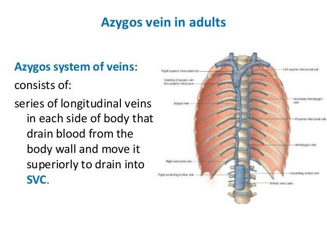 development of superior venacava and azygous vein, Human Body