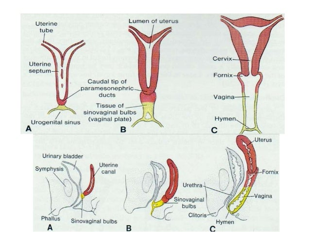 Development Of The Female Reproductive System