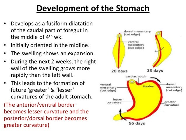 Development Of The Foregut Esophagus And Stomach additionally Normal Wrist further Ultrasound Guided Pudendal Nerve Block furthermore Anatomy Of Rectum furthermore Anatomy Education Presentation AoDhyAKKv1. on posterior dorsal plane