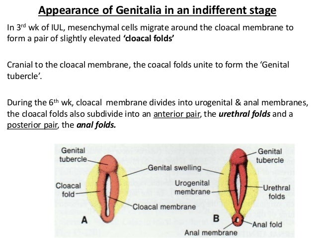 Development of the male reproductive system