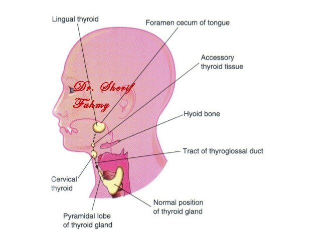 development of thyroid gland (special embryology), Human Body