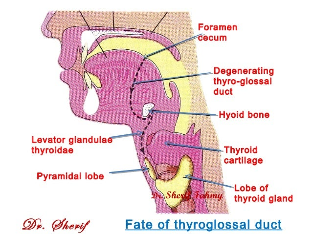 development of tongue, thyroid gland and respiratory system (special …, Human Body