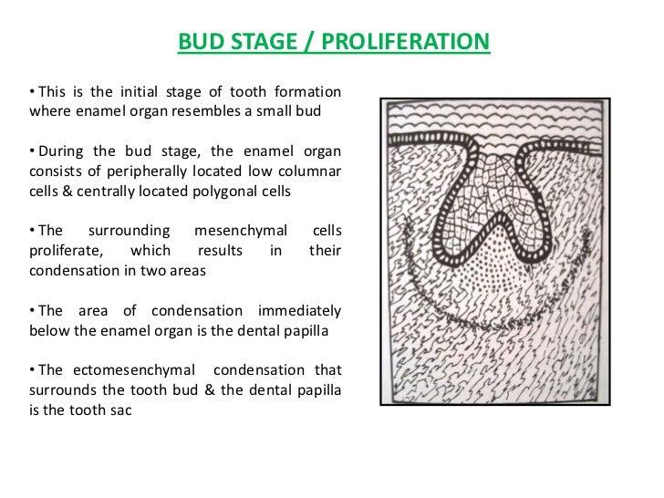 Development Of Tooth