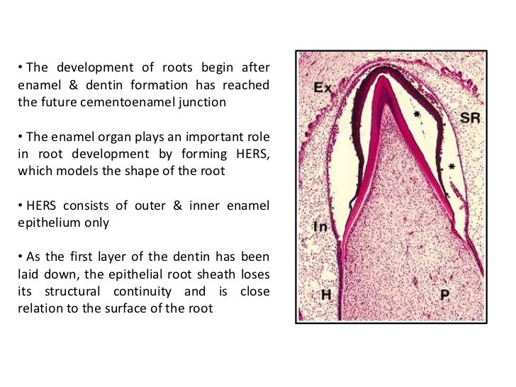 tooth development A simple, straightforward developmental rule -- the 'patterning cascade' -- is  powerful enough to explain the massive variability in molar crown.