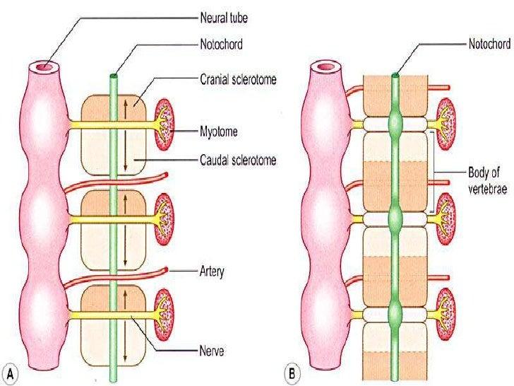 Development Of Vertebral Column