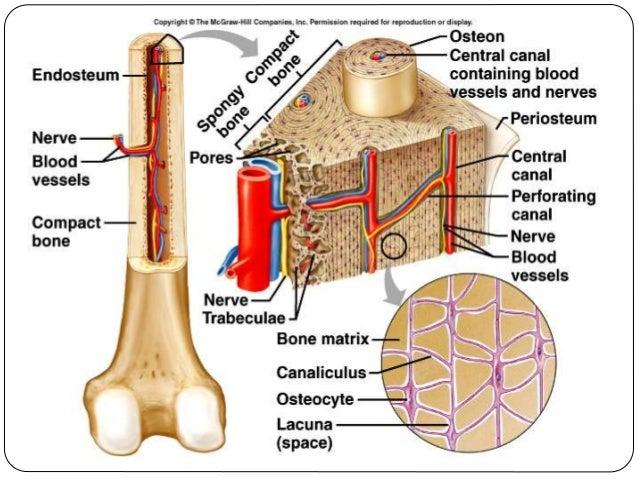 Development,structure and organization of bone