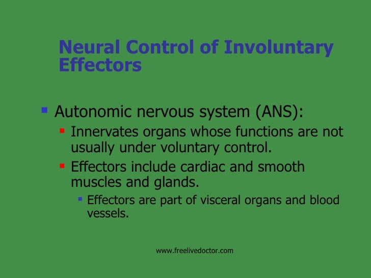 Neural Control of Involuntary Effectors <ul><li>Autonomic nervous system (ANS): </li></ul><ul><ul><li>Innervates organs wh...