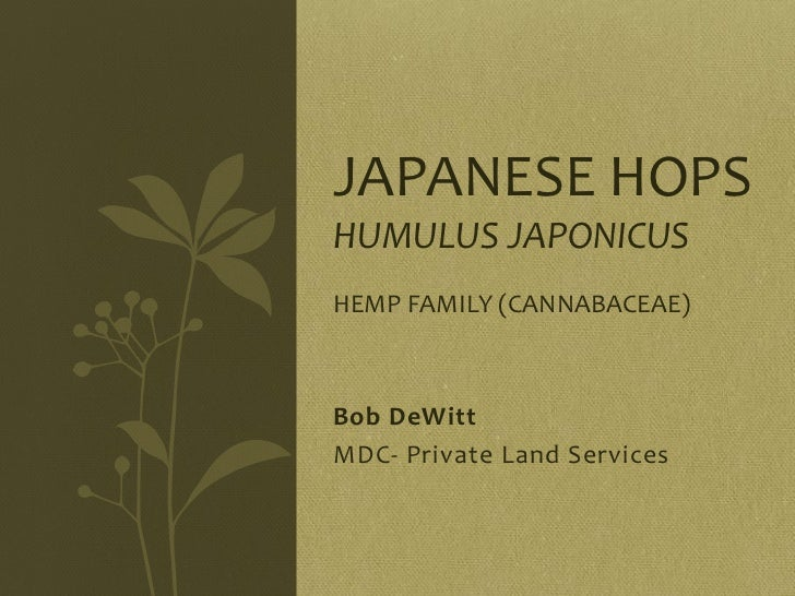 JAPANESE HOPSHUMULUS JAPONICUSHEMP FAMILY (CANNABACEAE)Bob DeWittMDC- Private Land Services